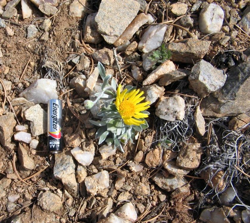 Wildflower called 'Perky Sue'