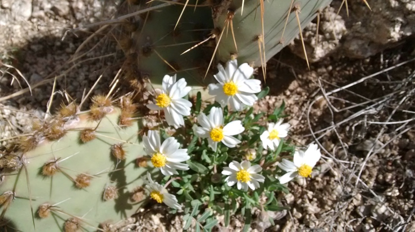 Contrast of delicate wildflower with prickly cactus.