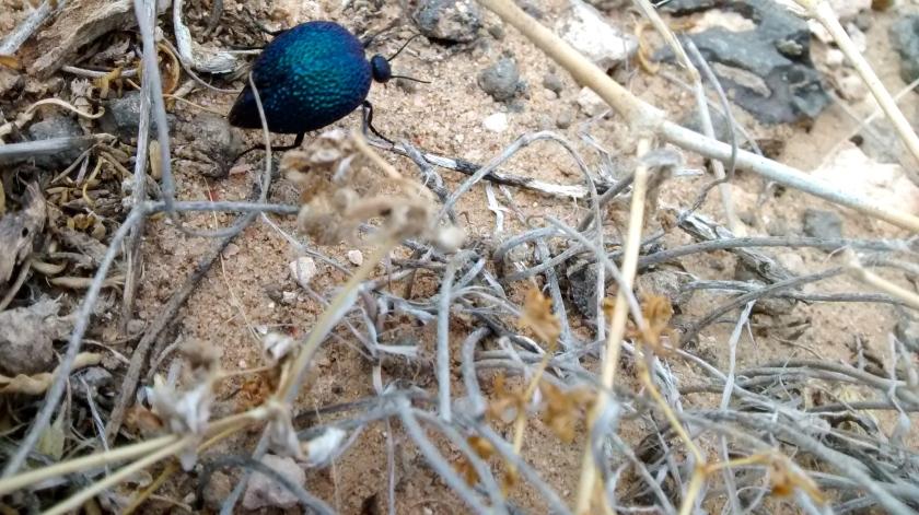 Big Blue Beetle.