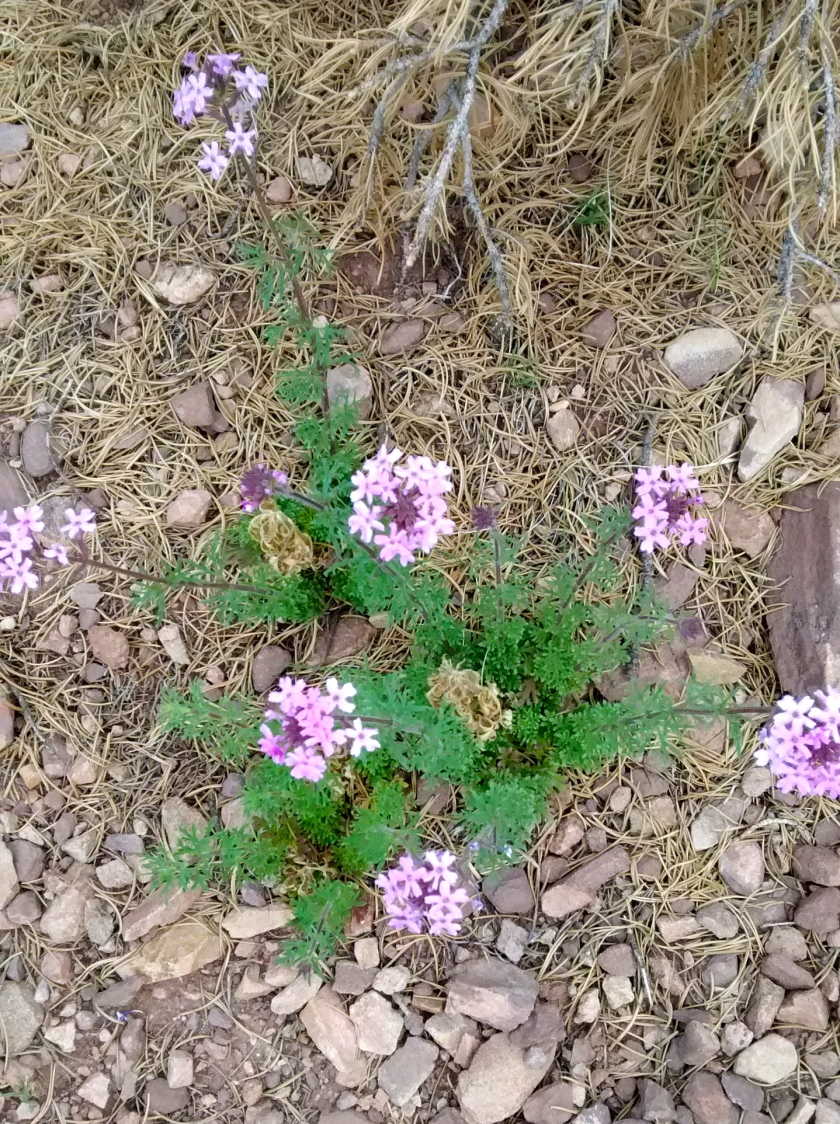 Verbena, also called Dakota Vervain.