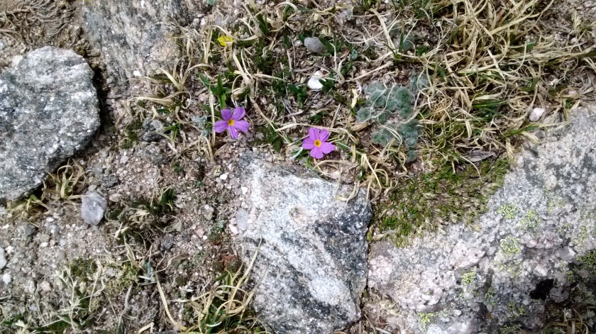 Tiny wildflowers growing at 12,000 foot elevation.