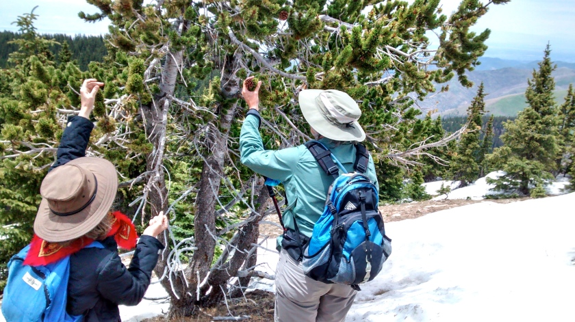Examining a rare bristlecone pine that grows just at the edge of the tree line.