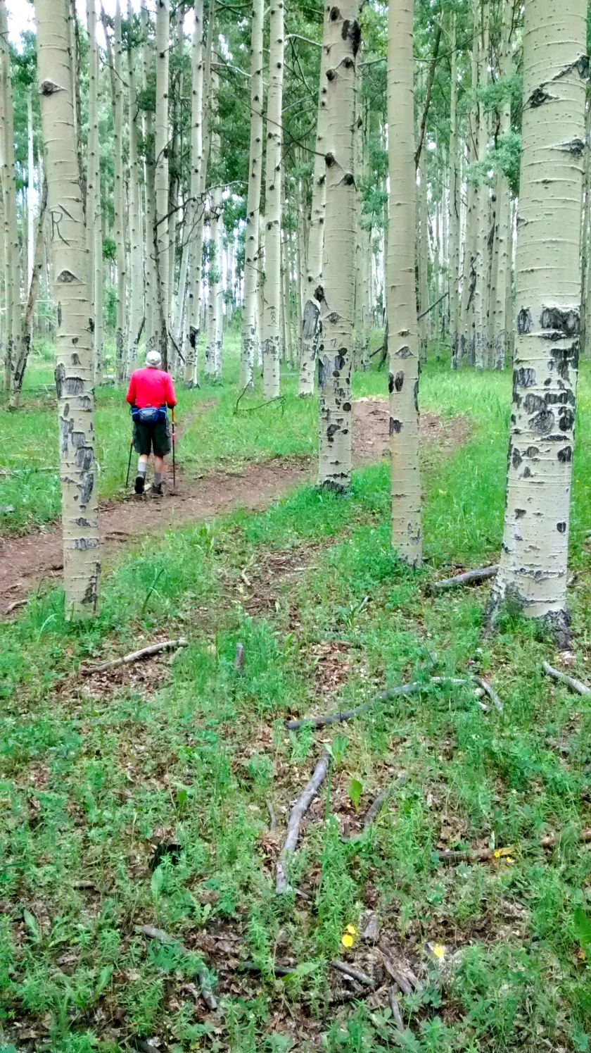 Grove on aspen trees on hike up to ridge.