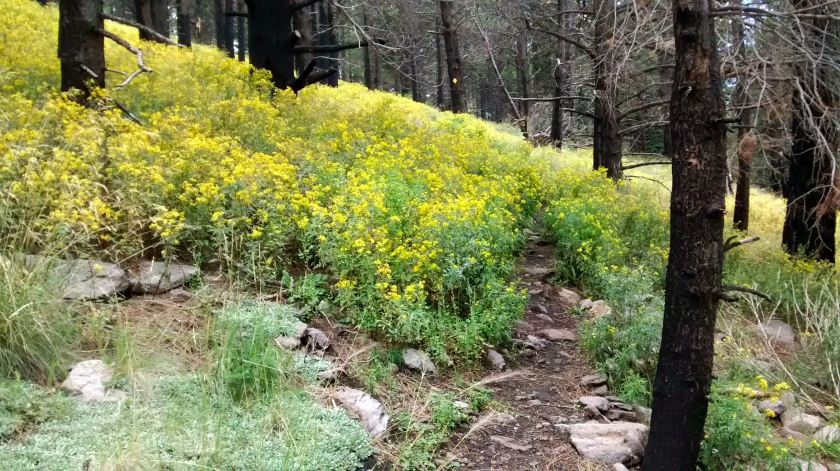 Patches of bright yellow wildflowers contrasted with blackened tree trunks.