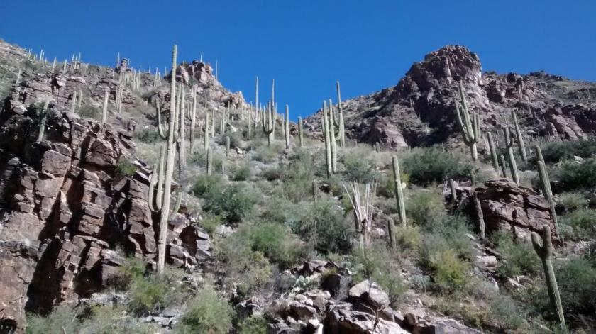 Lots of Saguaro cacti on the Ventana Canyon hike.
