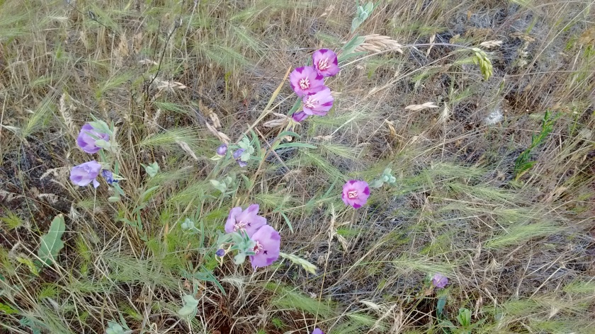 """One sample of wildflowers.  We learned that the common name is """"farewell-to-spring."""""""