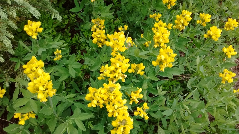 One of the yellow flowers I can identify--Golden Pea.