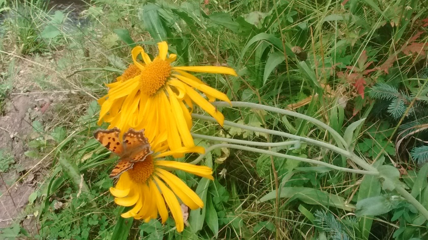 Orange Sneezeweed. Look closely to notice the orange butterfly.