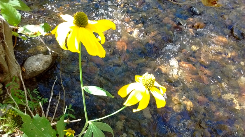 Not many wildflowers left, but here were a couple of nice coneflowers next to the stream.