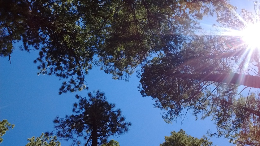 Looking up through Ponderosa Pine canopy.