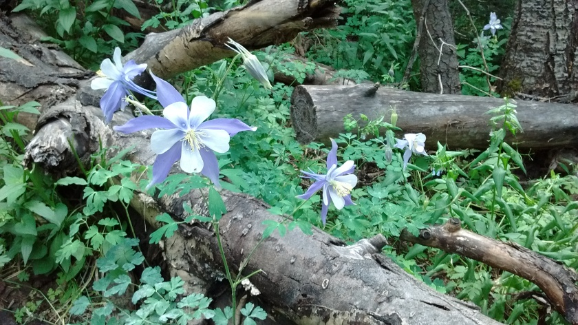 My favorite flowers are the blue columbine.